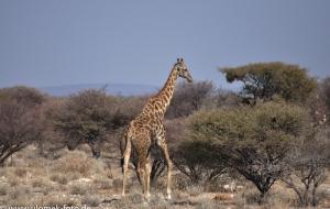 Etscha Nationalpark, Namibia 2013 Tag1