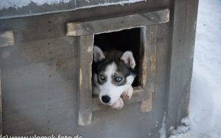 Husky Farm und Fahrt mit Schlittenhunden